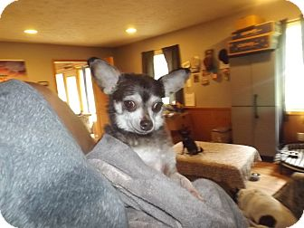 Chihuahua Dog for adoption in Quincy, Indiana - Foxy