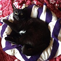 Domestic Shorthair Cat for adoption in New York, New York - Chat Noir