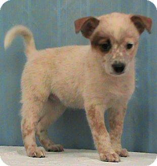 Australian Cattle Dog Mix Puppy for adoption in Maynardville, Tennessee - Bobbie Jo