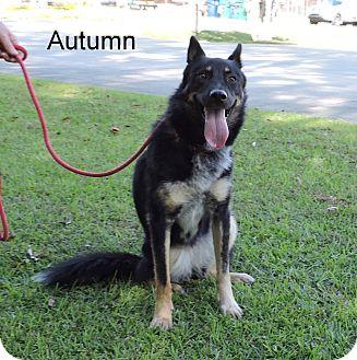 Shepherd (Unknown Type) Mix Dog for adoption in Slidell, Louisiana - Autumn