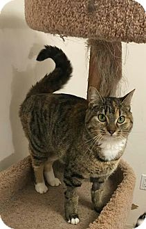 Domestic Shorthair Cat for adoption in Wasilla, Alaska - Muffin