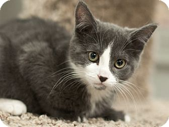 Domestic Shorthair Kitten for adoption in Great Falls, Montana - Piper