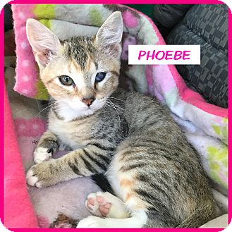 Domestic Shorthair Kitten for adoption in Miami, Florida - Phoebe