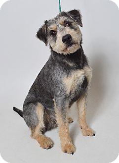 Schnauzer (Standard)/Australian Cattle Dog Mix Dog for adoption in Fruit Heights, Utah - Gonzo