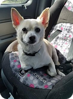 Chihuahua Mix Dog for adoption in Gainesville, Florida - Cody