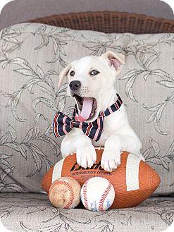 Labrador Retriever/Australian Cattle Dog Mix Puppy for adoption in Chandler, Arizona - Cayenne
