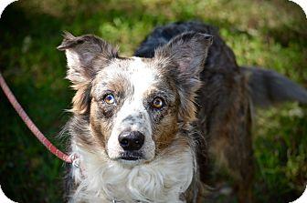 Australian Shepherd Dog for adoption in Wimberley, Texas - Daisy