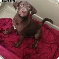 Adopt A Pet :: Carter - Burlington, VT