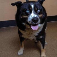 Husky/Bernese Mountain Dog Mix Dog for adoption in Spruce Grove, Alberta - ECHO