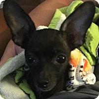 Chihuahua Dog for adoption in Tuscaloosa, Alabama - Nara