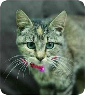 Domestic Shorthair Cat for adoption in Brenham, Texas - Victoria