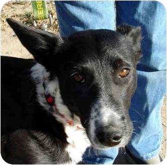 Border Collie Mix Dog for adoption in Leoti, Kansas - Cleo