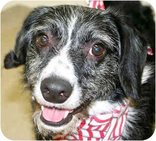Border Collie/Terrier (Unknown Type, Medium) Mix Dog for adoption in Cincinnati, Ohio - Flip