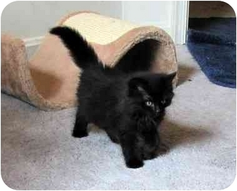 Domestic Mediumhair Kitten for adoption in Alexandria, Virginia - Ta-li