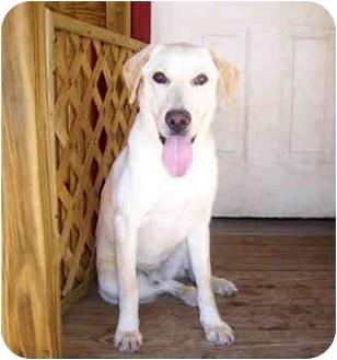 Labrador Retriever Mix Dog for adoption in Cumming, Georgia - Thurman
