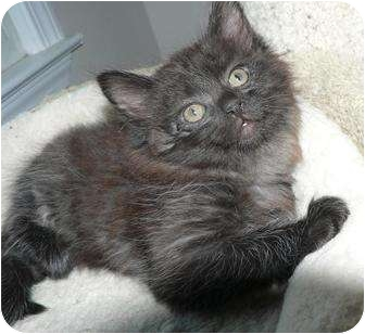 Domestic Longhair Kitten for adoption in Hendersonville, Tennessee - Lily