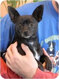Chihuahua Dog for adoption in Las Vegas, Nevada - Mai Tai