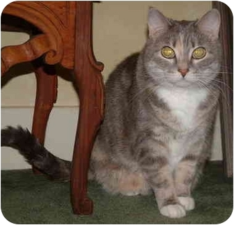 Domestic Shorthair Cat for adoption in Sheboygan, Wisconsin - Celeste