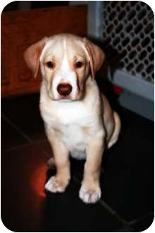 Labrador Retriever Mix Puppy for adoption in Nanuet, New York - Boy Puppies...