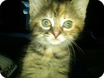 Domestic Shorthair Kitten for adoption in Sterling Hgts, Michigan - Flora