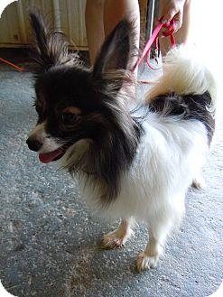 Papillon Mix Dog for adoption in Tipton, Iowa - Papillion1Precious