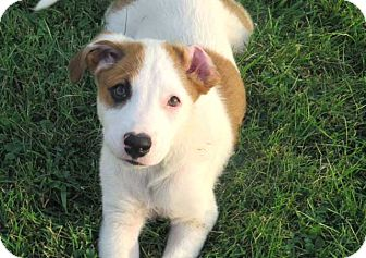 Boxer/Hound (Unknown Type) Mix Puppy for adoption in Salem, New Hampshire - PUPPY RUGBY