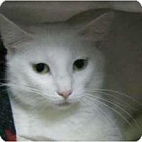 Adopt A Pet :: Snow - Lunenburg, MA
