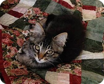 Maine Coon Kitten for adoption in Tillamook, Oregon - George