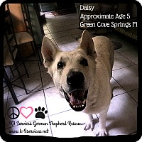 Adopt A Pet :: Daisy - Green Cove Springs, FL
