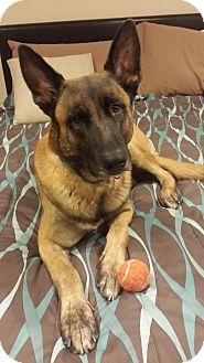 Belgian Malinois Dog for adoption in Baltimore, Maryland - Roy
