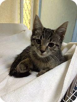 Domestic Shorthair Kitten for adoption in New York, New York - Noodles