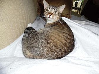 Domestic Shorthair Cat for adoption in Royal Palm Beach, Florida - Lizzy