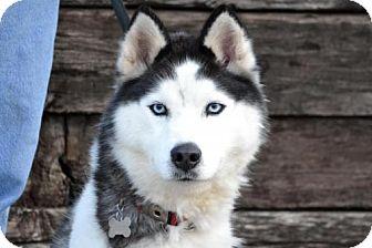 Husky Dog for adoption in Parkville, Missouri - Aspen