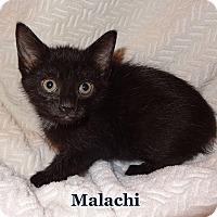 Adopt A Pet :: Malachi - Bentonville, AR