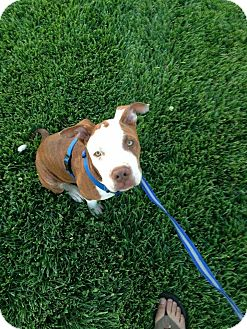 Staffordshire Bull Terrier Mix Dog for adoption in Rancho Santa Fe, California - Marley