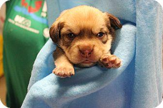 Corgi Mix Puppy for adoption in Hershey, Pennsylvania - Crews