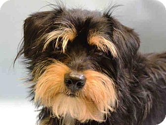 Dachshund/Terrier (Unknown Type, Small) Mix Dog for adoption in Stow, Maine - Serenity
