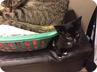 Domestic Shorthair Kitten for adoption in Warren, Michigan - Sly