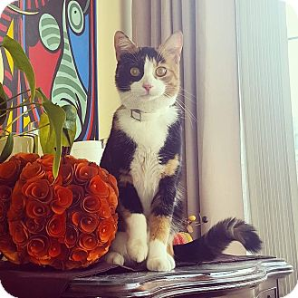 Domestic Shorthair Cat for adoption in Bronx, New York - Pumpkin
