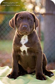 Labrador Retriever/Australian Shepherd Mix Puppy for adoption in Cincinnati, Ohio - Hershey