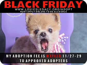 Pomeranian Mix Dog for adoption in Cincinnati, Ohio - Midge WAIVED FEE/BLACK FRIDAY