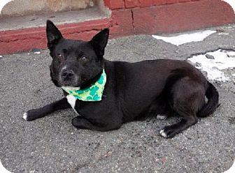Cattle Dog/Labrador Retriever Mix Dog for adoption in Manhattan, New York - Speedy