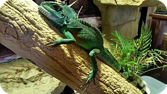 Lizard for adoption in Greenfield, Indiana - Puff