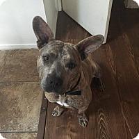 Adopt A Pet :: Huck - Las Vegas, NV