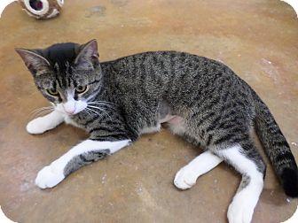 Domestic Shorthair Cat for adoption in Lake Charles, Louisiana - BeBe