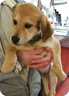 German Shepherd Dog/Labrador Retriever Mix Dog for adoption in Paducah, Kentucky - Twinkie Man