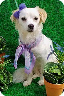 Spaniel (Unknown Type)/Papillon Mix Dog for adoption in Irvine, California - Posey