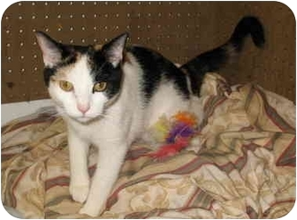 Calico Cat for adoption in Cincinnati, Ohio - Lucy
