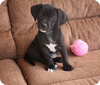 Dachshund/Terrier (Unknown Type, Medium) Mix Puppy for adoption in Henderson, Nevada - BooBoo