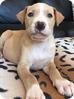 Labrador Retriever Mix Puppy for adoption in CUMMING, Georgia - Vesper